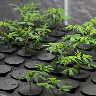 Young fresh cut cannabis clones in a legal indoor recreational g