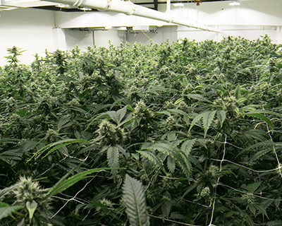 Topping and Training Plants to Increase Yields